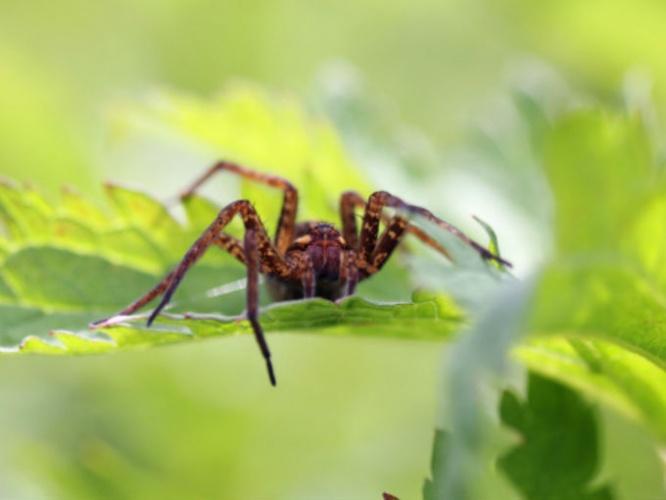 veneno de araña para tratar la disfunción eréctil