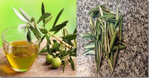 hojas-de-olivo-propiedades